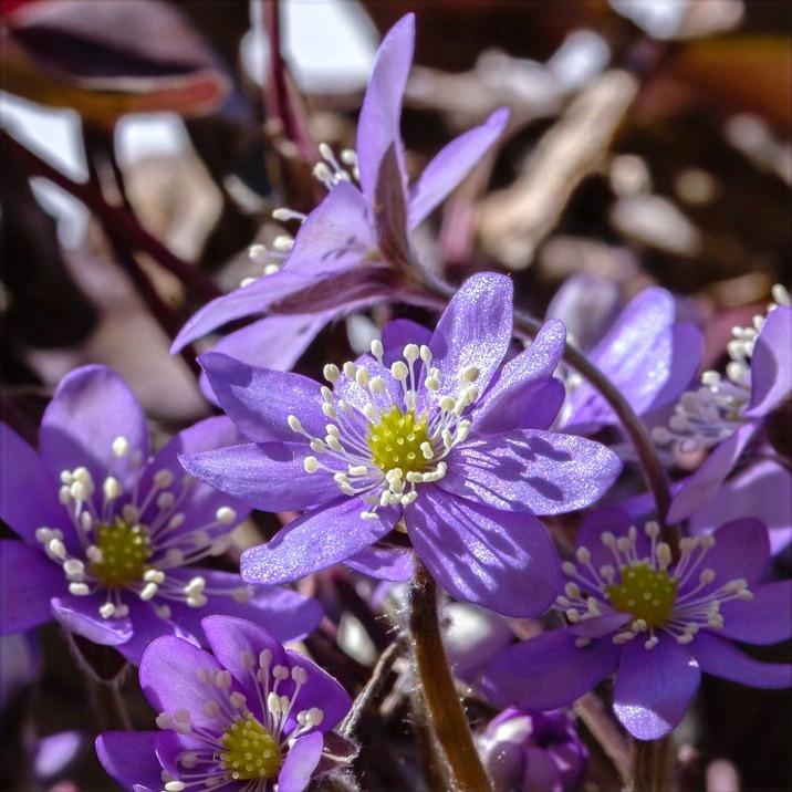 Die ersten Frühlingsblumen strecken ihre Köpfe der Sonne entgegen