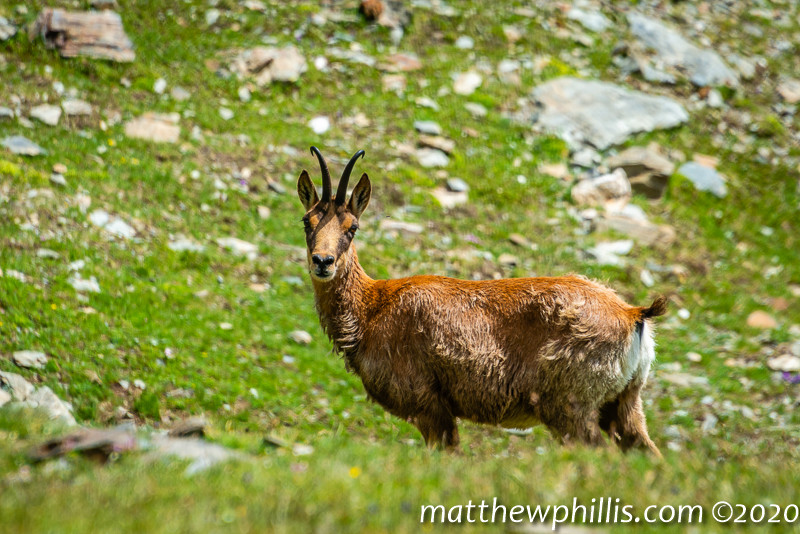 mountain chamois