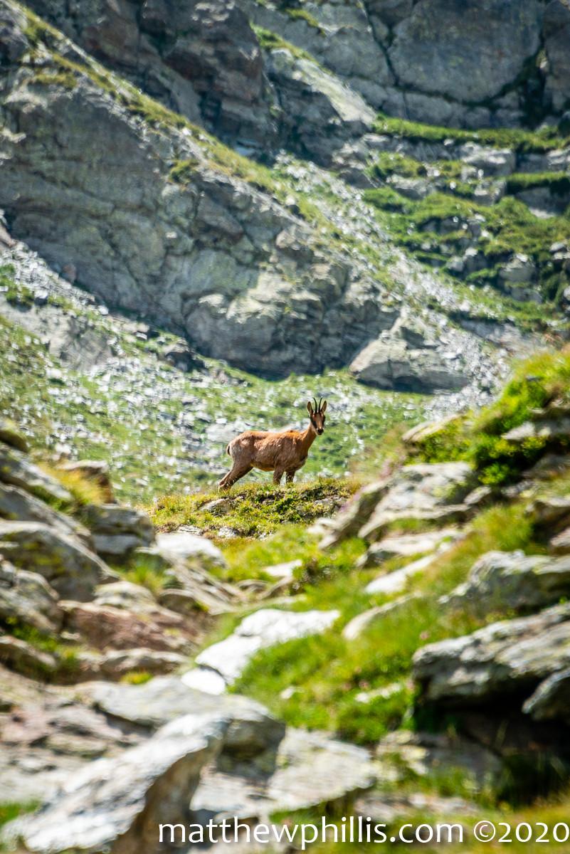 Pyrenees chamois