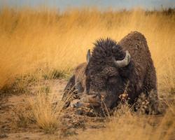 Sleepy Bison at Yellowstone Lake