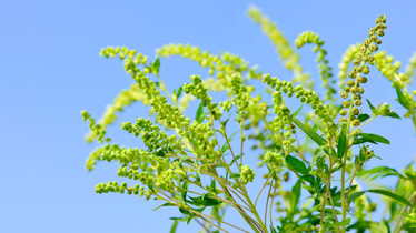 Ragweed season and Oral Allergy Syndrome (OAS)