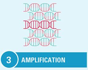 step3_amplfication.jpg