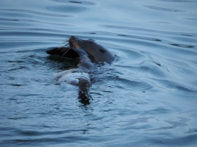 Seal on Pittwater - Copy.JPG