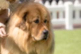 Tibetan Mastiff Melbourne Victoria