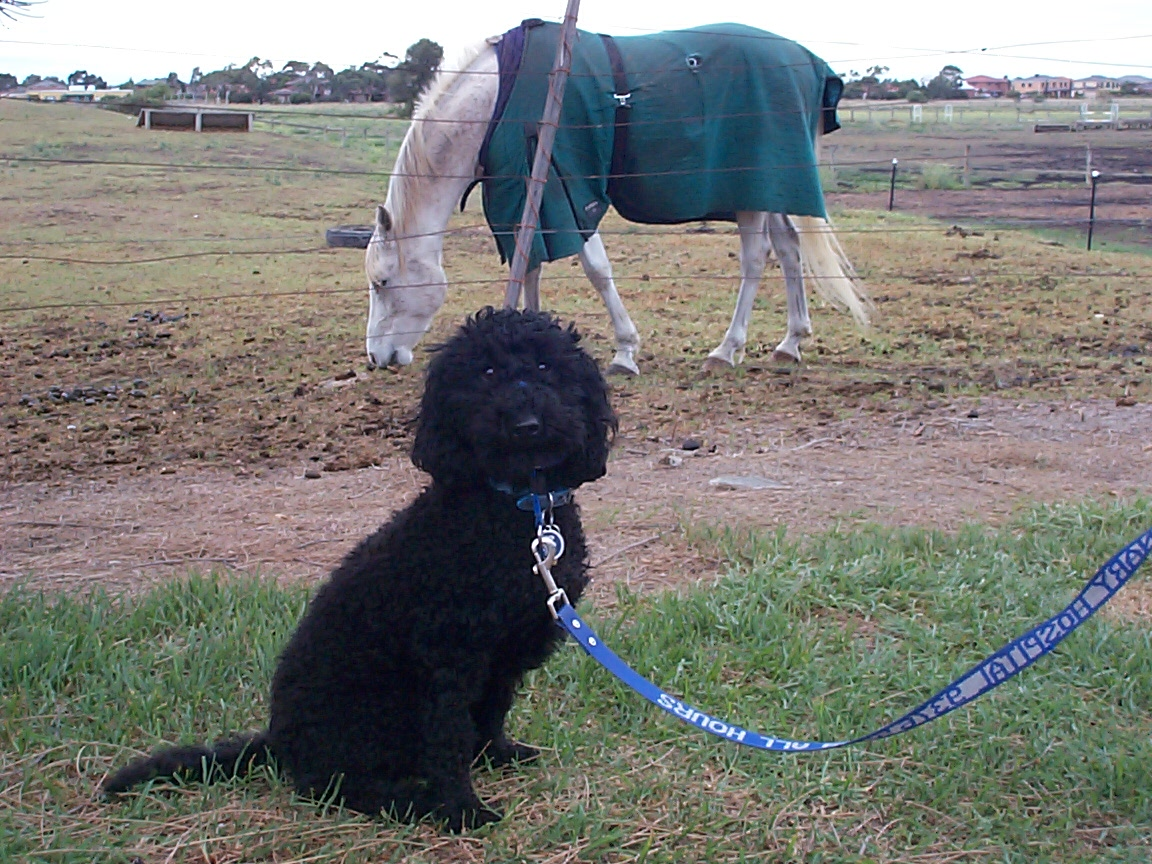 desensitising dog to horses