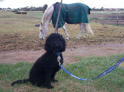 desensitising dog to horses