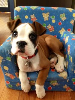 Bandit - Asp Gdns Puppy School