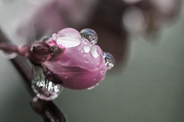 cherry-blossom-399851_640.jpg