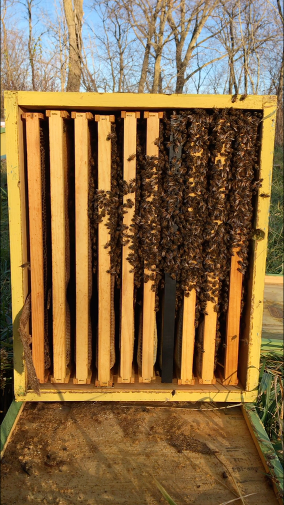 A single brood box productioncolony fed for winter and tightly clustered on a coldday. In forty degree weather, this hive would cover 6-7 frames. Beekeepers have different philosophieson hive strengthin the winter. Some prefer large populations that build up early in spring. I much prefer small to medium sizes clusters that use winter stores conservatively and have steady buildup that starts later in the spring.This reflects my decision not to docommercial pollination or early splits. These both require booming winter populations. The winter cluster is limited by colony nutrition in late summer and fall as well as genetics. The genetic base of my apiary is Carniolan-a strain of bees maintained in eastern and central Europe. They are dark bees, winter hardy, and gentle. Inparts of the country where pollinationis the main source of beekeeping income, Italian strains or Italian hybrids are commonly used.