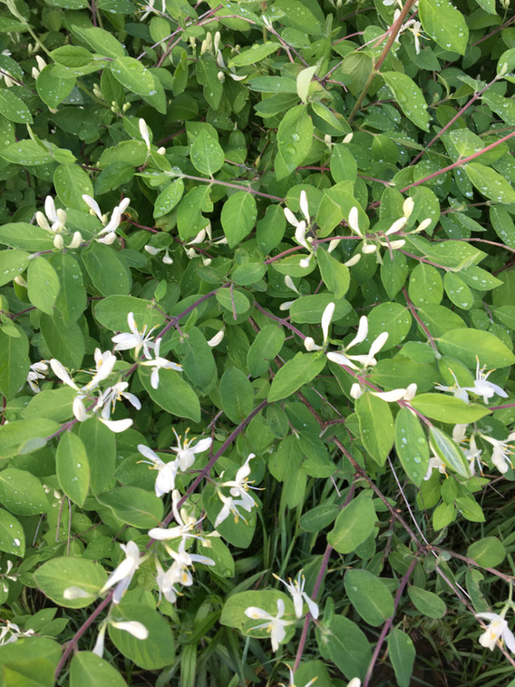 Bush honeysuckle, although an invasivespecies, is a great plant for bees. It blooms mid to late May in my locale and provides the bees with a great spring nectar flow. I use the flow to build populations for the summer flow and making splits.