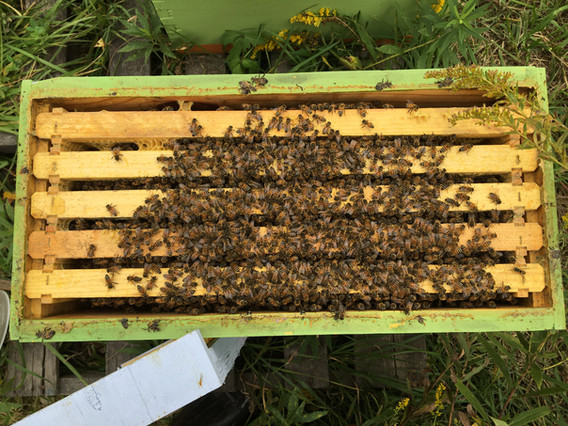 This is what I want to see in a nucleus colony. A tight cluster of bees on cool days and strong populations. This colony has a chance ata full crop of honey come next year.