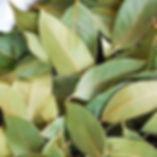 allspice-leaves.jpg