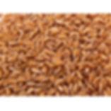 sharbati wheat.jpg