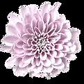 Macaron-tros-roze-chrysant-bloem-hr_edit