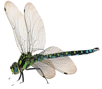 libelle-clipart-4_edited.png