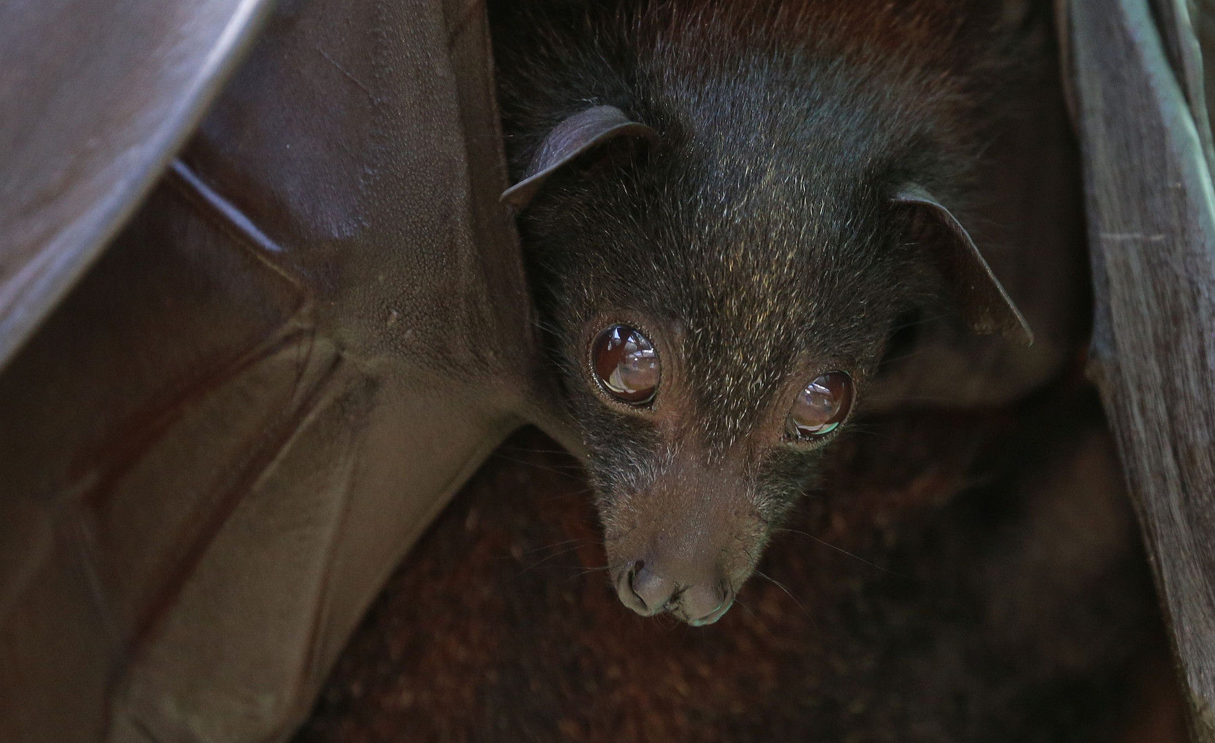 Malayan Flying Fox - Pup up close 2015 Photo Credit By Wade Kinaid