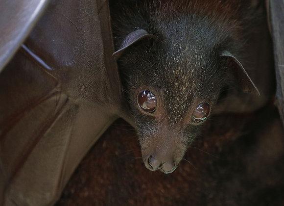 Bat Pup Adoption and Naming