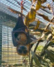 SUNNY - Little Golden Mantled Flying Fox