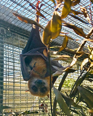 SUNNY - Little Golden Mantled Flying Fox