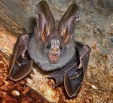 Lesser-false-vampire-bat.jpg.838x0_q80.j