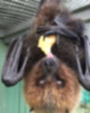 Grace - Rodrigues Fruit Bat