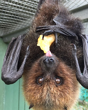 Grace - Rodrigues Fruit Bat