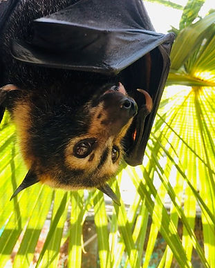 Kuri - Spectacled Flying Fox