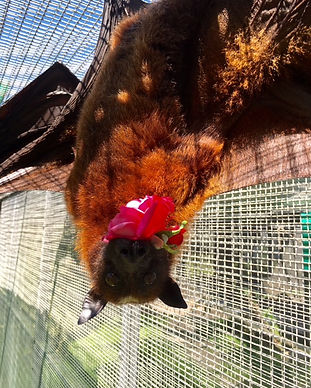 Bloom - Malayan Flying Fox