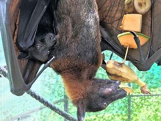 vampyrus pup nursing.jpg
