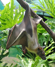 African Straw-colored Fruit Bat