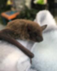 Chickpea - Evening Bat