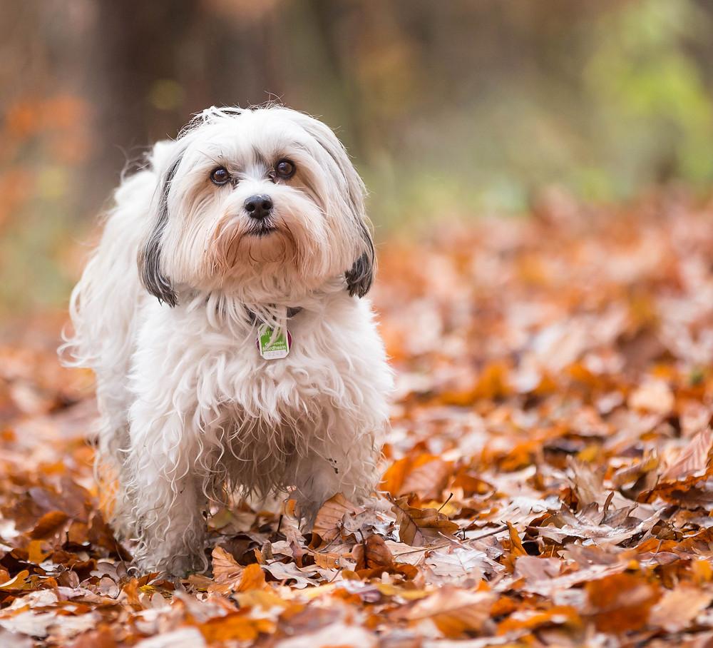 Rommy havaneser Hund Tierfotografie