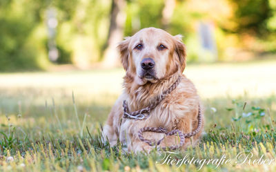 Hund Rocky, Golden Retriever Heilbronn