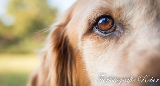 Rocky GOlden Retriever Hund Tierfotografie