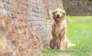 Hund Rocky, Golden Retriever Heilbronn