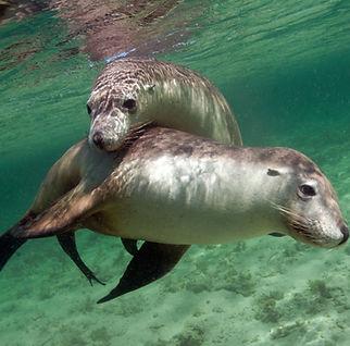 Swim withSea Lions South Australia Steaky Bay