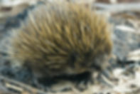 Kangaoo Island Wildlife