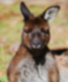 Kangaroo o Kangaroo Island