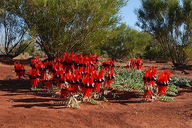 Sturt Desert Pea, Gawler Ranges South Australia