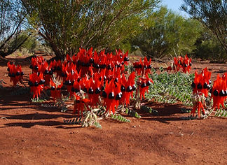 Sturt Desert Pea, Gawler Ranges South Australia