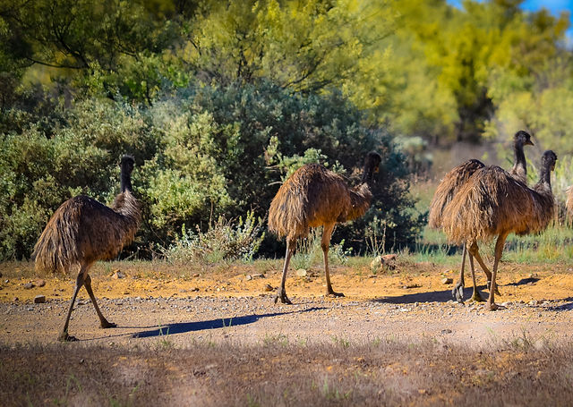 Emus in Australia, Flinders Ranges Air Tours