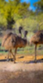Emus in Australia, Flinders Ranges Air Tours