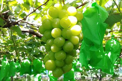 堤万勝園のブドウは主に2種類