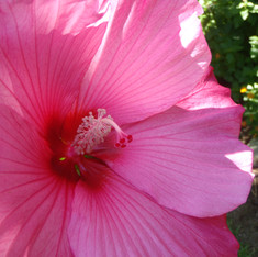 OBX Hibiscus....and its perrenial!