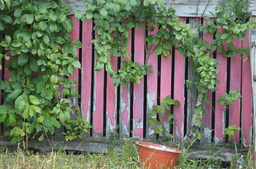 Red Lath Vines