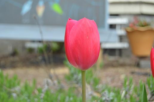 One Tulip