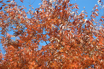 Orange Tree Blue Sky