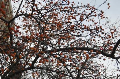 Orange Berry Tree