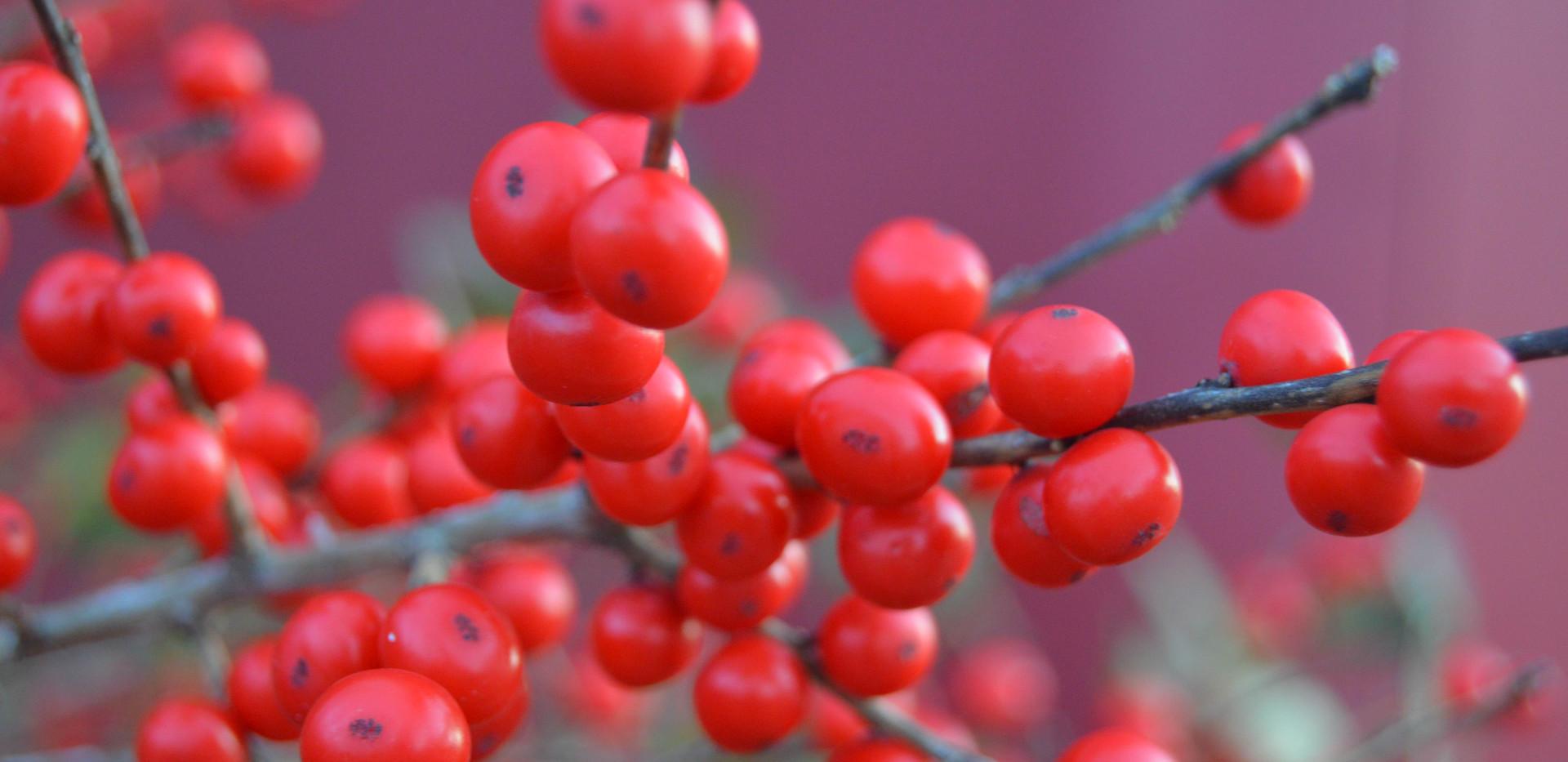 DecemberBerries