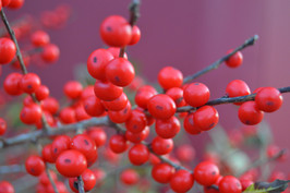 December Berries